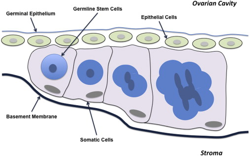 Ovarian Germline Stem Cells An Unlimited Source Of